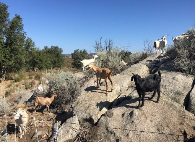 Goats for Wildland Management at Irvine Ranch Conservancy