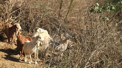 Goat Grazing for Vegetative Management