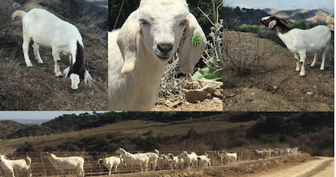 Goats for Wildland Management Learn More