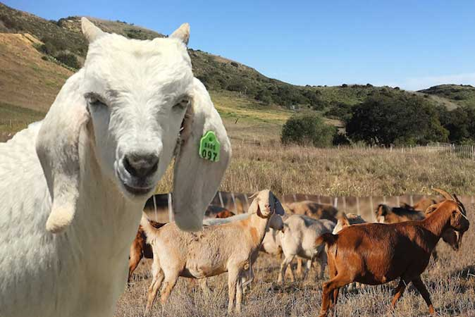 Goat Grazing for Wildland Management