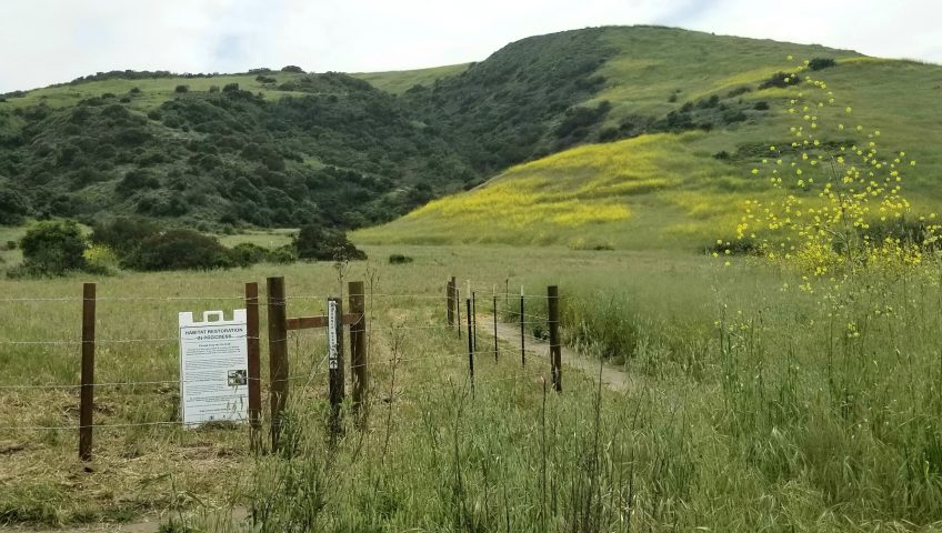 Bommer Canyon Habitat Restoration Using Goat Grazing For Weed Eradication