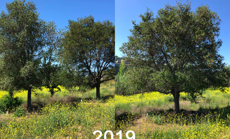Live Oak Tree Relocation 2019 Growth Success