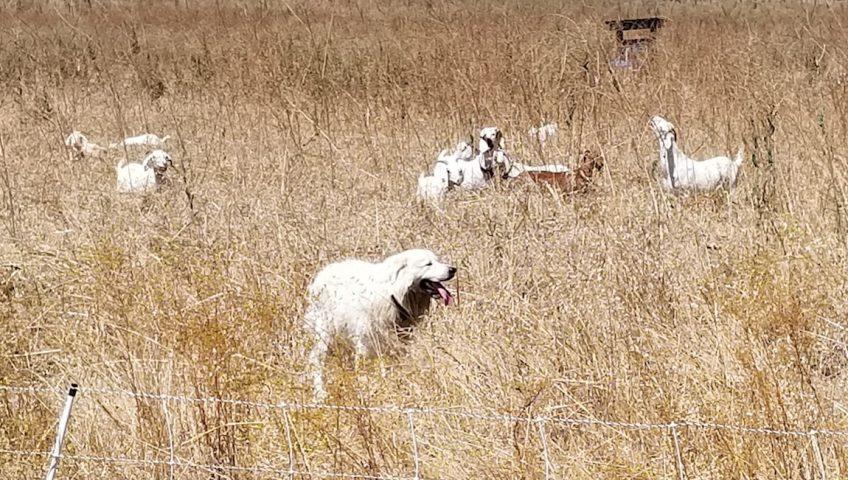 Goat Grazing at Quail Hill