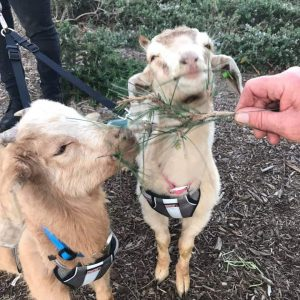 Disney and Rocky two juvenile goats visited Laguna Niguel civic center