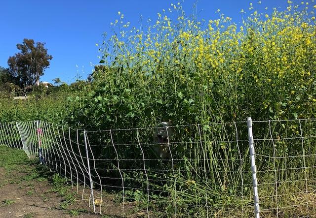Invasive black mustard targeted weed abatement area
