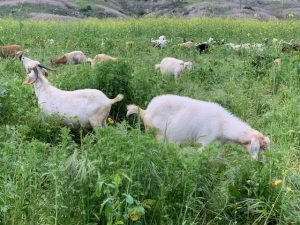 Goat grazing at Reef Park in Laguna Niguel