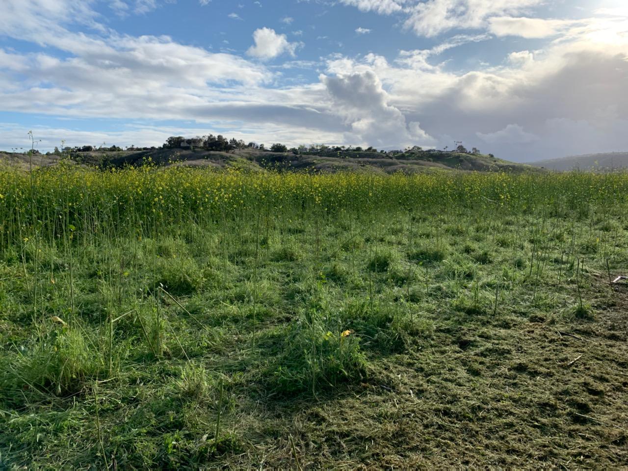 invasive weed black mustard foreground grazed background ungrazed