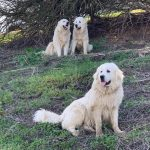 Great Pyrenese Guard Dogs